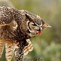 Great Horned Owl by Tam Ryan
