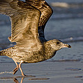 Gull by Sandy Swanson