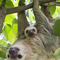 Hoffmanns Two-toed Sloth And Old Baby by Suzi Eszterhas