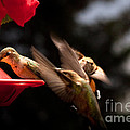 Hummingbirds At Feeder by Cindy Singleton