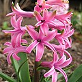 Hyacinth Named Pink Pearl by J McCombie