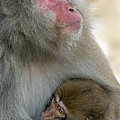 Japanese Macaques by John Shaw