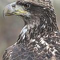 Juvenile Bald Eagle by Ken Keener