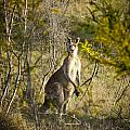 Kangaroo by Tim Hester