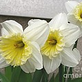 Large-cupped Daffodil Named Ice Follies by J McCombie