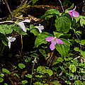 Large Flowered Trillium  by Thomas R Fletcher