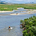 4-lay Of The Land Many Grizzly Bears In Moraine River In Katmai National by Ruth Hager