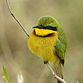 Little Bee-eater by John Shaw