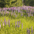 Maine Wild Lupine Flowers by Keith Webber Jr
