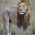 Male Lion by John Shaw