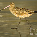 Marbled Godwit by John Shaw