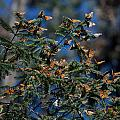 Monarch Butterflies by Carol Ailles