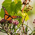 Monarch Butterfly by Brad Marzolf Photography