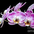 Moon's Orchid  by Antoni Halim