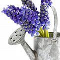 Muscari Or Grape Hyacinth by Lee Avison