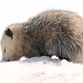 North American Opossum In Winter by J McCombie