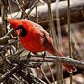 Northern Cardinal Male by Dan Ferrin