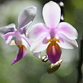 Orchids Dance by Irina Davis