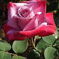 Paradise Rose by Sara  Raber