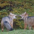 Patagonian Red Fox by John Shaw