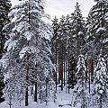Pine Forest Winter by Jouko Lehto