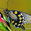 Pipevine Swallowtail Butterfly by Millard H. Sharp