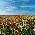 Poppy Field by Ollie Taylor