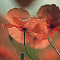 Poppy Meadow by Nailia Schwarz