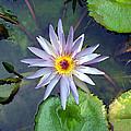 Purple Lotus by Ellen Henneke