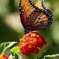 Queen Butterfly  by Saija  Lehtonen