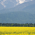 rapeseed field in Brnik with Kamnik Alps in the background by Ian Middleton