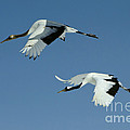 Red-crowned Cranes by John Shaw