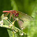 Red Dragonfly by Betty Depee