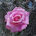 Rose by Robert Floyd