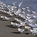 Royal Terns On The Beach At Indialantic In Florida by Allan  Hughes
