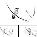 Ruby-throated Hummingbird - Immature Female - Black And White - Archilochus Colubris  by Mother Nature
