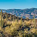 Saguaro Cactus by Wolfgang Hauerken