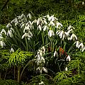Snowdrop Woods by Mark Llewellyn