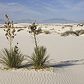 Soaptree Yucca In Gypsum Sand White by Konrad Wothe