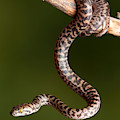 Spotted Python Antaresia Maculosa by David Kenny