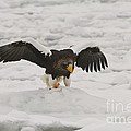 Stellers Sea Eagle by John Shaw