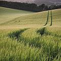 Summer Landscape Image Of Wheat Field At Sunset With Beautiful L by Matthew Gibson