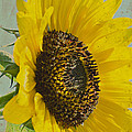 Sunflower by Jim And Emily Bush