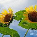 Sunflower by Mark Dodd