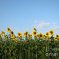 Sunflower Series by Amanda Barcon