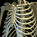 The Rib Cage by Science Picture Co