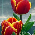 Tulips by FL collection