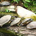 4 Turtles On A Log by Kathy Raee Hansen