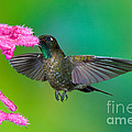 Tyrian Metaltail by Anthony Mercieca