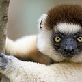 Verreauxs Sifaka In Berenty by Cyril Ruoso